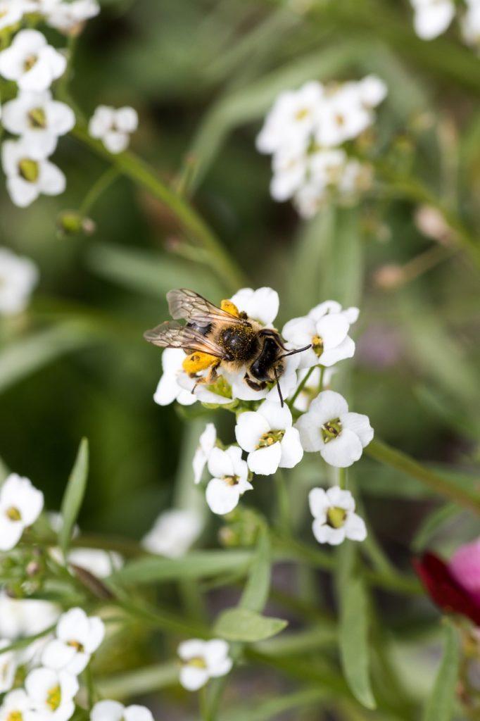 Bee Blossom Bloom Honey Bee Insect  - MelaniMarfeld / Pixabay