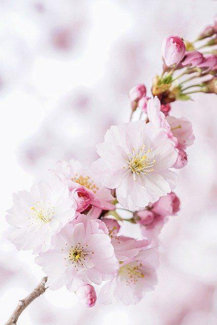 Cherry Blossoms Petals Nature Tree  - suju / Pixabay