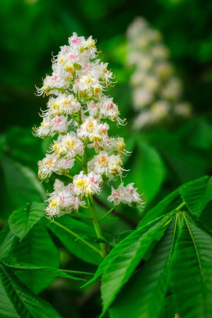Chestnut Blossom Flowering Bloom  - fietzfotos / Pixabay