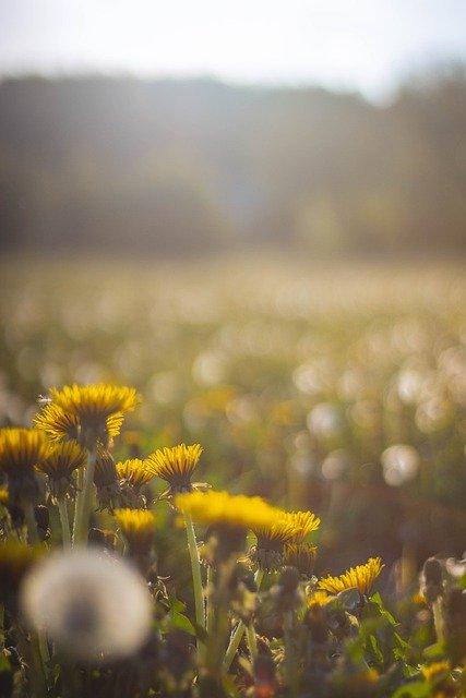 Dandelion Meadow Spring Nature  - Byszek / Pixabay