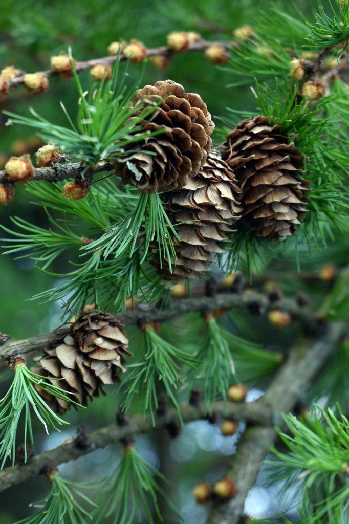 Pine Cone Cones Spruce Pine  - artellliii72 / Pixabay