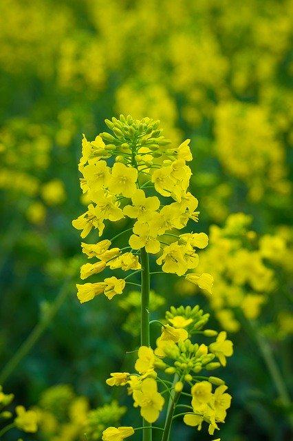 Rapeseed Flower Yellow Field  - krystianwin / Pixabay