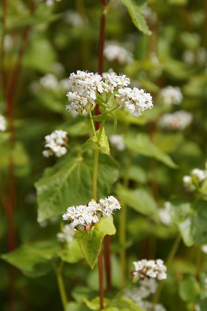 Buckwheat Close Up Blossom Bloom  - Efraimstochter / Pixabay