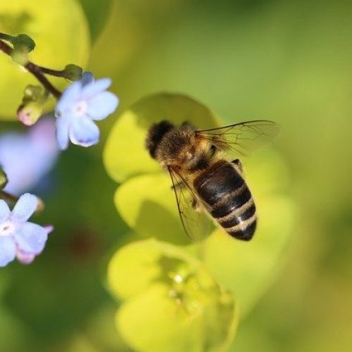 Bee Forget Me Not Plant Nature  - Rollstein / Pixabay