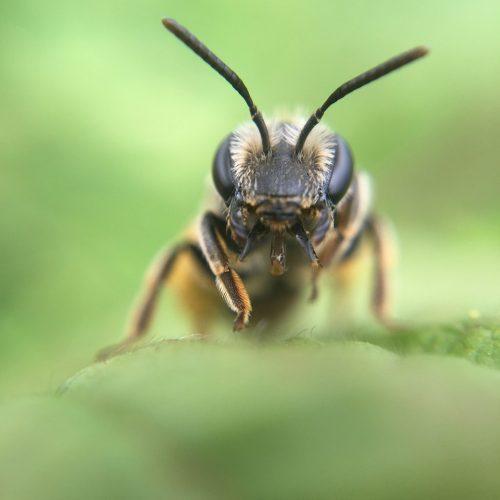 Bee Macro Green Nature Insect  - GruenAp / Pixabay