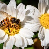 Bee Wasp Pollen Margaret Flower  - Chikilino / Pixabay