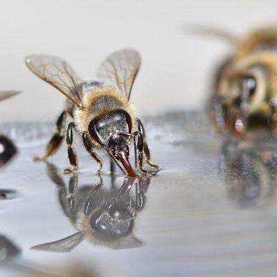 Bees Beekeeper Beekeeping Insect  - xiSerge / Pixabay