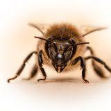 Honey Bee Bee Bees Insect Honey  - umsiedlungen / Pixabay