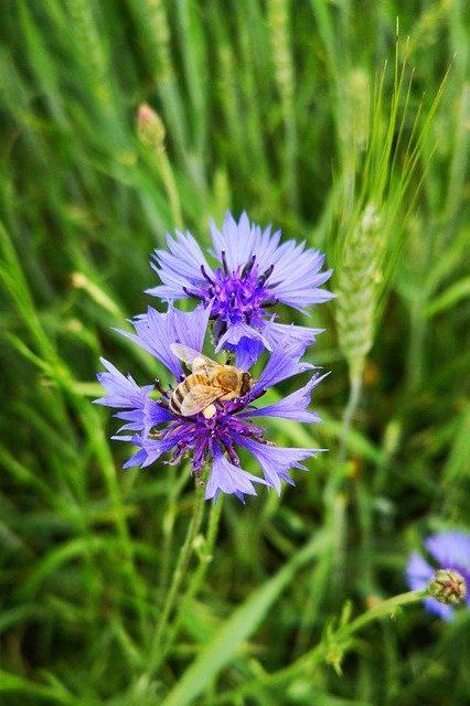Honey Bee Bee Cornflower Insect  - kwherzog / Pixabay
