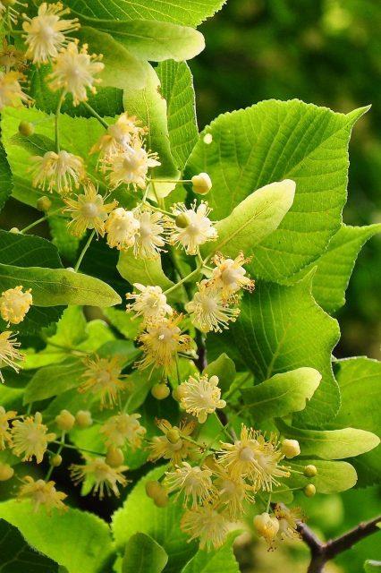 Linden Tree Small Leaved Herb  - szjeno09190 / Pixabay