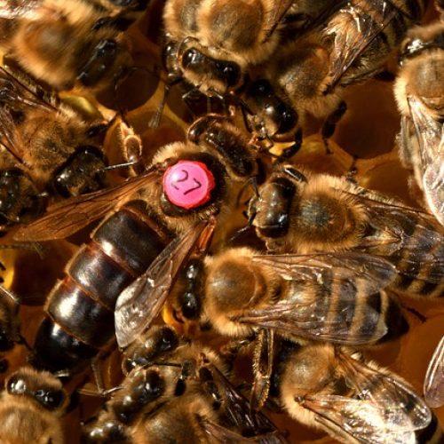 Queen Bee Bees Insect Honeybee  - xiSerge / Pixabay