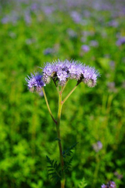 Tufted Flower Phacelia  - Hans / Pixabay